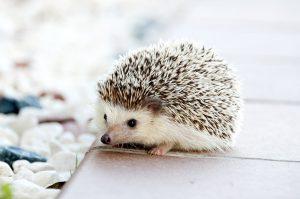 baby hedgehog salmonella risk
